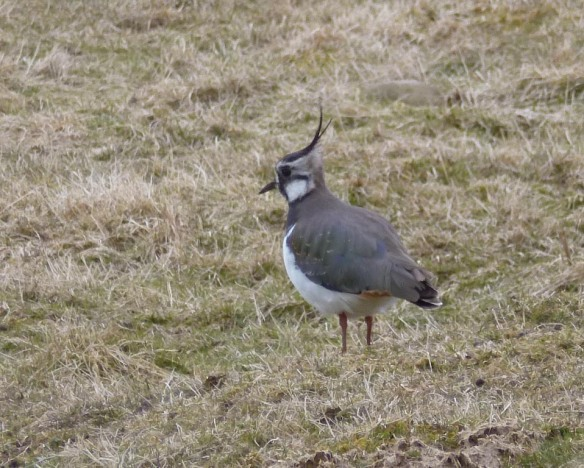 Lots of lapwings to be seen here